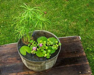 plante aquatique bassin